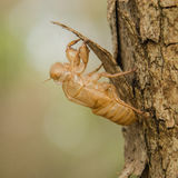 Crust of Cicada Stock Photography