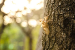 Crust of Cicada Stock Photo