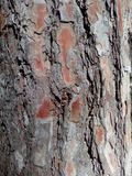 Crust, cork, incrustation, rind. Bark pine wood brown, background view of the forest Royalty Free Stock Photos