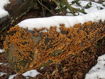 Crust fungus on tree with snow Stock Photography
