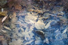 Crust of ice on a puddle. Of leaves Stock Photos