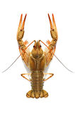 Crustacean. Animal isolated on white royalty free stock photography