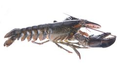 Crustacean Royalty Free Stock Photos