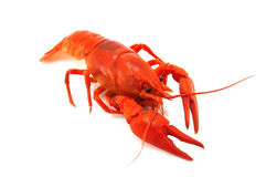 Crustacean. Red crustacean isolated on white stock image