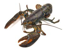 Crustacean - Blue Lobster stock images