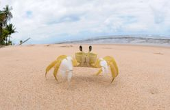 Crustacean - Maria Farinha. Barra Grande, Bahia, Brazil, October 28, 2018. Crustacean named Maria Farinha in the sand of the beach of Taipú de Fora, in stock photos