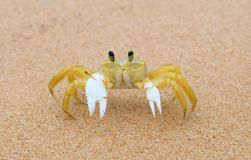 Crustacean - Maria Farinha. Barra Grande, Bahia, Brazil, October 28, 2018. Crustacean named Maria Farinha in the sand of the beach of Taipú de Fora, in royalty free stock image