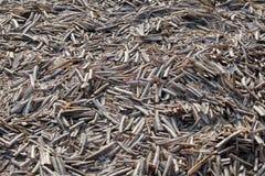 Crustacean razors on the deserted beach Stock Image