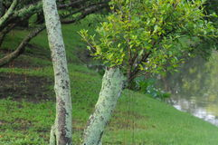 Crustose Flechte auf dem Baum stockbild