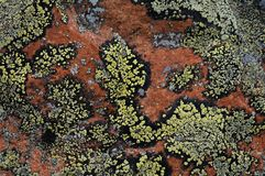 Crustose lichen Royalty Free Stock Photography