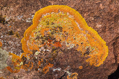 Crustose Lichen. Close View of Bright Orange And Yellow Crustose Lichen Growing On Rock In Great Basin National Park, Nevada Royalty Free Stock Photo