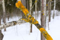 When a crustose lichen grows from a center and appears to radiate out, it is called crustose placodioid. There are variations in growth types in a single lichen Royalty Free Stock Photos