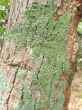 Crustose lichen. On the tree from thailad stock photo