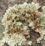 Crusty Lichen algae texture Stock Images