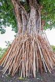 Crutches a árvore do bodhi, tradição tailandesa no norte de Tailândia foto de stock