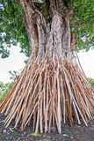Crutches bodhi tree, Tradition Thai in north of Thailand. Stock Photo