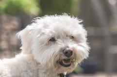 Cruz branca de Bichon Frise em Sunny Garden imagens de stock royalty free
