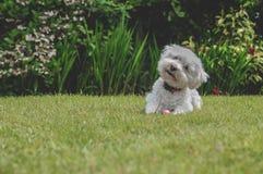 Cruz branca de Bichon Frise em Sunny Garden imagem de stock