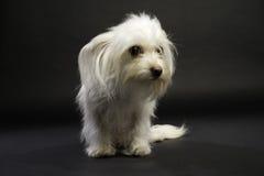 Cruz branca Sat da chihuahua em um fundo branco Foto de Stock