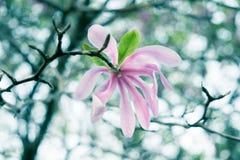 Cruz cor-de-rosa da flor da magnólia processada Fotos de Stock Royalty Free