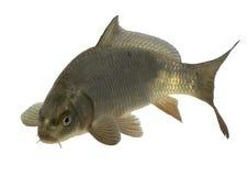 Cruz da carpa com peixes do koi Imagem de Stock