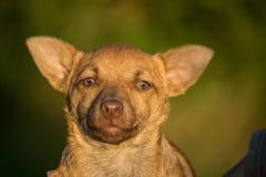 Cruz da chihuahua Fotografia de Stock