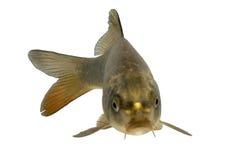 Cruz de la carpa con los pescados del koi Imagen de archivo libre de regalías