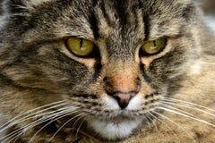 Cruz del gato atigrado del gato de Maine Coon Foto de archivo libre de regalías