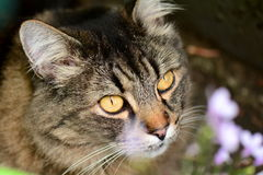 Cruz del gato atigrado del gato de Maine Coon Imagen de archivo