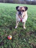 Cruz do cão do Pug e uma bola Foto de Stock