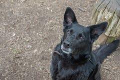 Cruz preta de Labrador que olha acima foto de stock royalty free