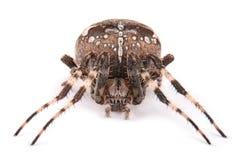 Cruzado de sexo femenino de la araña Imágenes de archivo libres de regalías