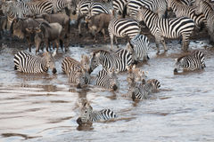 Cruzamento de zebra o rio de Mara em Kenya, África Fotos de Stock Royalty Free