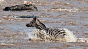 Cruzamento de zebra só o rio Mara Fotografia de Stock Royalty Free
