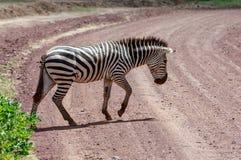 Cruzamento de zebra - um cruzamento de zebra das planícies a estrada no Serengeti imagens de stock