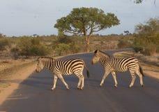 Cruzamento de zebras Imagem de Stock Royalty Free
