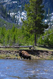 Cruzamento do búfalo imagens de stock royalty free