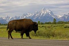 Cruzamento do búfalo Imagens de Stock