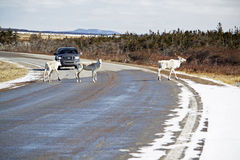 Cruzamento do caribu em Gros Morne Park Imagem de Stock Royalty Free