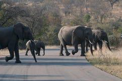 Cruzamento do elefante Fotografia de Stock Royalty Free