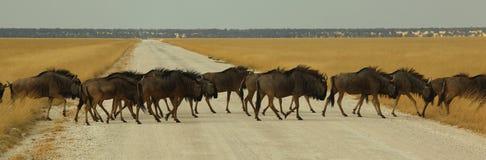 Cruzamento do Gnu Foto de Stock Royalty Free