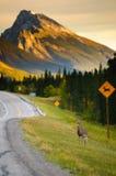 Cruzamento dos cervos Fotos de Stock Royalty Free