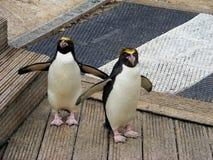 Cruzamento dos pinguins Imagens de Stock