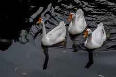 Cruzamento na lagoa no grande ganso branco imagens de stock royalty free
