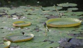 Cruziana de Victoria (lírio de água de Santa Cruz) na lagoa Foto de Stock
