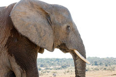 CRY - African Bush Elephant. CRY - The African bush elephant is the larger of the two species of African elephant. Both it and the African forest elephant have royalty free stock photography