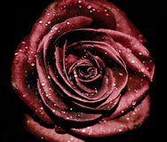 Cry rose Royalty Free Stock Photo
