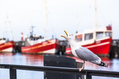Cry of a Seagull Royalty Free Stock Images
