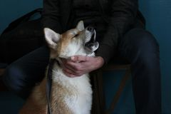 Free Crying Akita Pup Wants To Go For A Walk Stock Image - 108045691