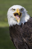 Crying american eagle Stock Photography